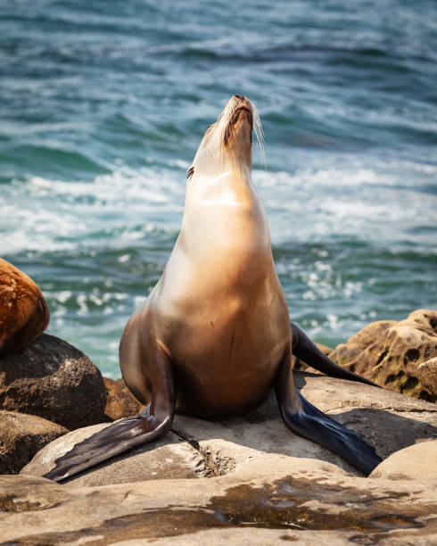 California Sea Lion Posing on the rocks stock photo