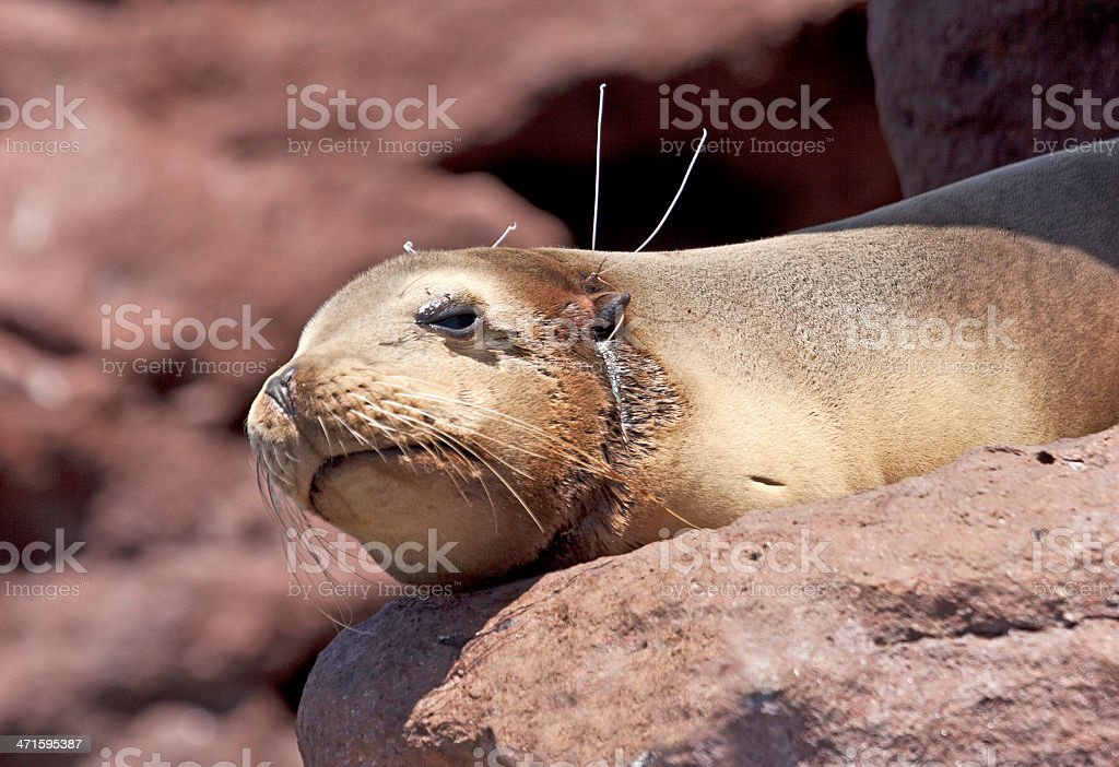 California Sea Lion pup with fishing line round its neck stock photo