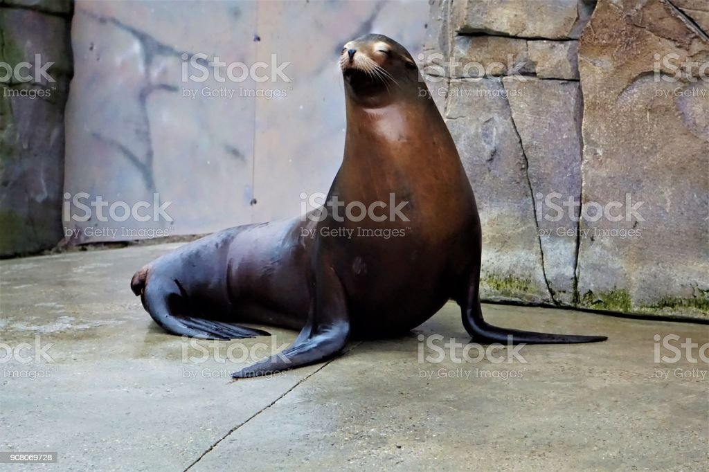 California sea lion stasnding and looking stock photo