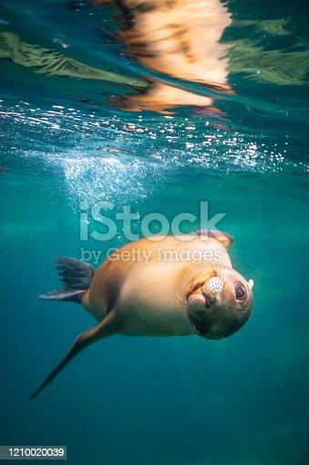 California sea lion (Zalophus californianus) at Los Islotes snorkelling destination in the Sea of Cortez