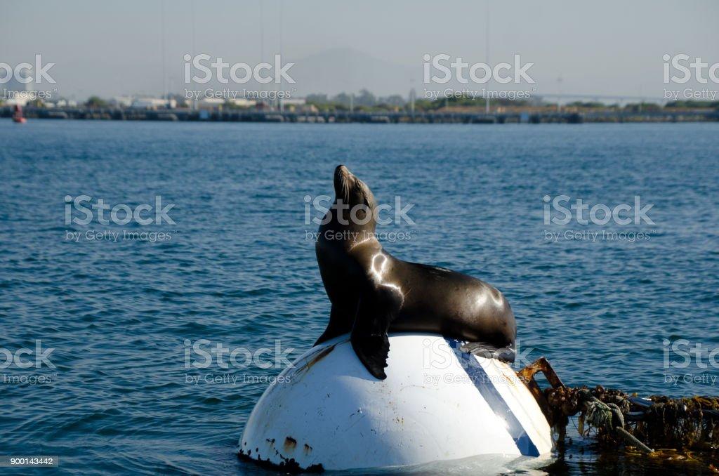 California sea lion taking sun bath on buoy near Shelter island, San Diego stock photo