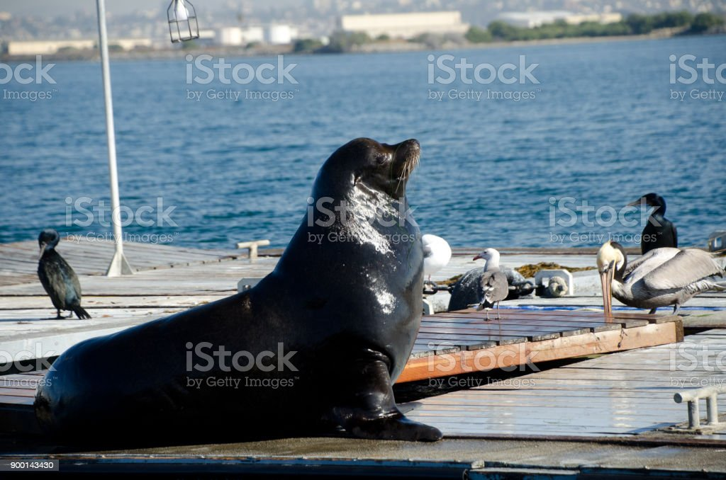 California sea lions at artificial landing near Shelter island, San Diego stock photo