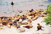 A large group of California Sea Lions (Zalophus californianus) haul out on a sandy beach at Monterey Bay, California
