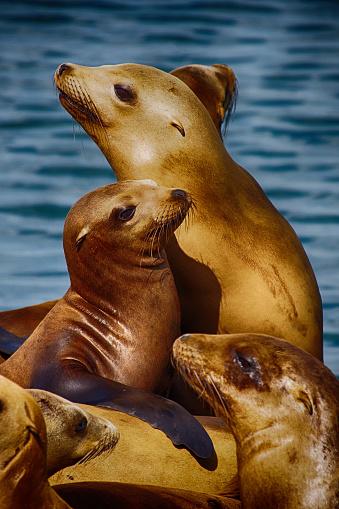 California Sea Lions. San Francisco USA