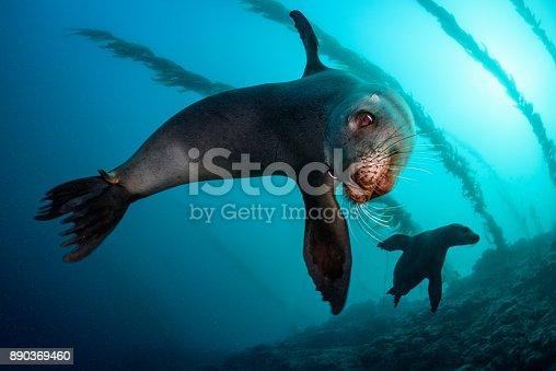 A pair of California sea lions off the coast of Santa Barbara Island, California.