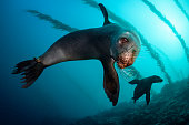 An underwater photo of curious sea lion getting closer and closer to the camera. In Galapagos you can see plenty of sea lions both on the beach and while scuba diving.
