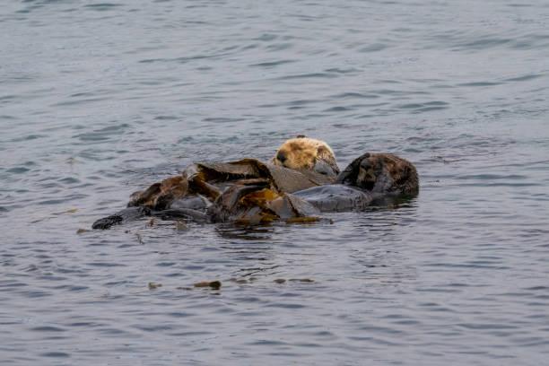 California Sea Otter (Enhydra lutris nereis) stock photo