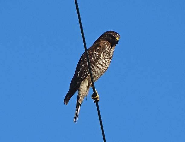 California Sharp Hawk stock photo