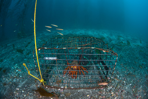 California Spiny Lobster in Trap