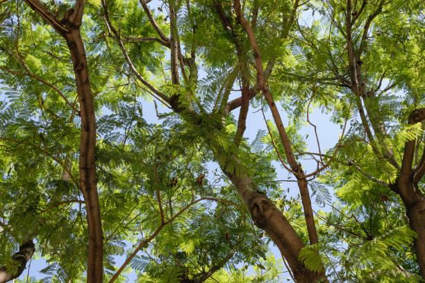 arbre d'ombre l'été en californie - arbre à feuilles caduques photos et images de collection