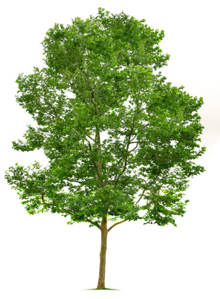 California Sycamore Tree Sycamore tree isolated on white. sycamore tree stock pictures, royalty-free photos & images
