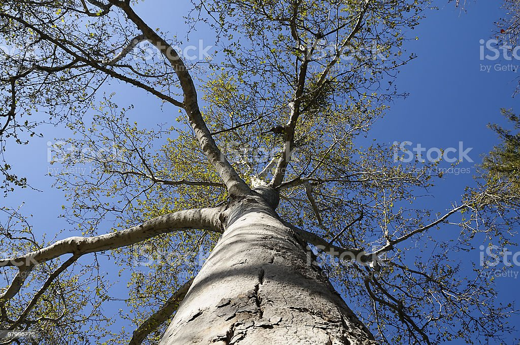 California Sycamore Tree royalty-free stock photo