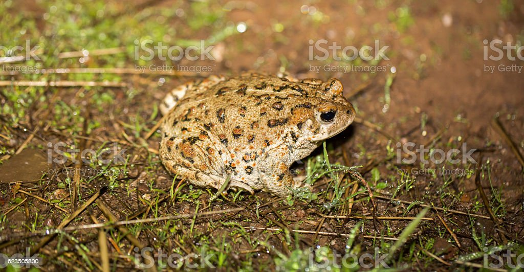 California Toad - Anaxyrus boreas halophilus, Santa Clara County, California stock photo