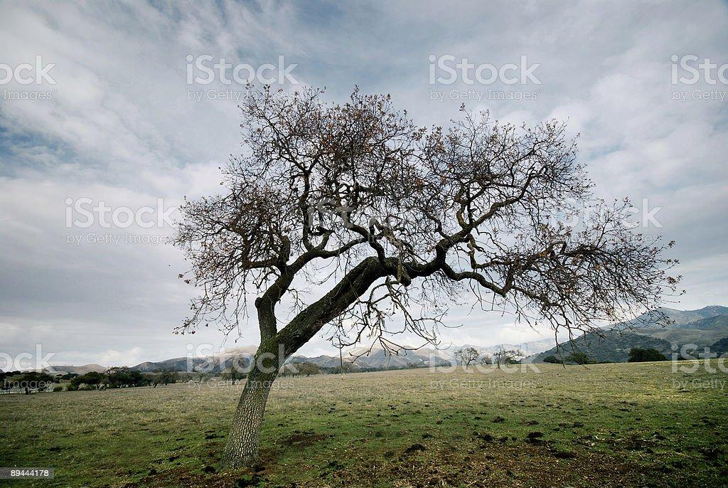 California Tree royalty-free stock photo