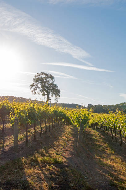 California Valley Oak tree in vineyard at sunrise in Paso Robles vineyard in the Central Valley of California United States stock photo