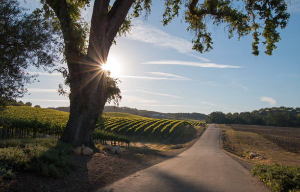 california valley oak tree with early morning sun beams in paso robles wine country in central california united states - central coast california stock photos and pictures