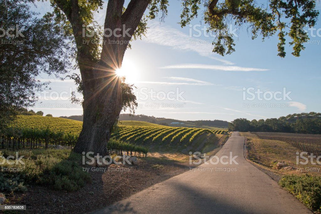 California Valley Oak Tree con sol de mañana temprano los rayos en el país de vino de Paso Robles en Central California Estados Unidos - foto de stock