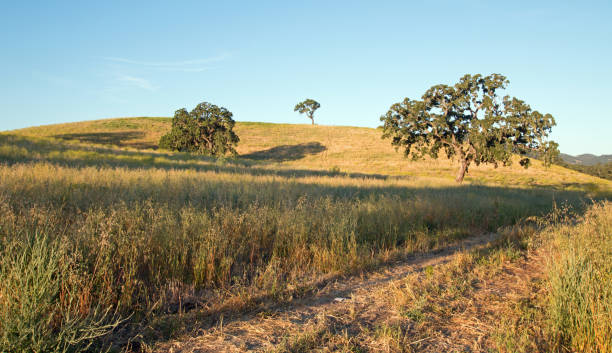 california valley oak trees in plowed fields under clear blue skies in paso robles wine country in central california united states - central coast california stock photos and pictures