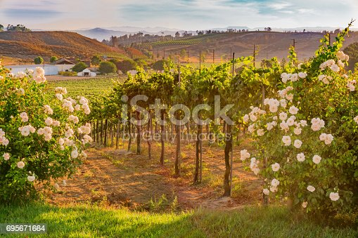 istock California Vineyard at Dusk with white roses (P) 695671664