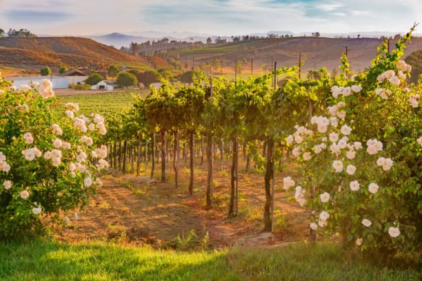 Kalifornischen Weingut in der Abenddämmerung mit weißen Rosen (P) – Foto