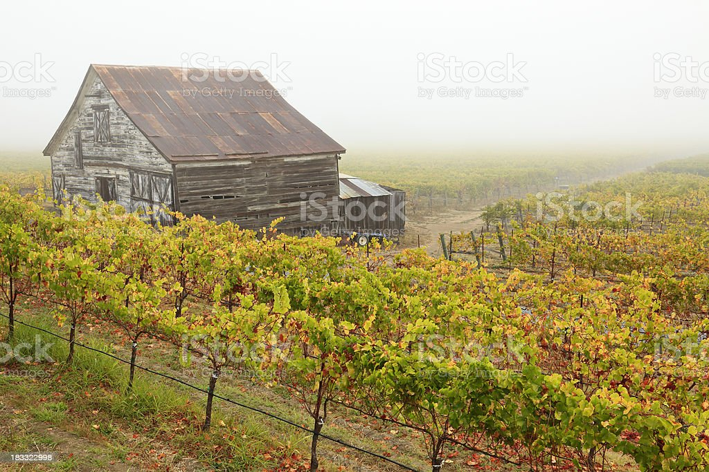 California Vineyard in Fog stock photo