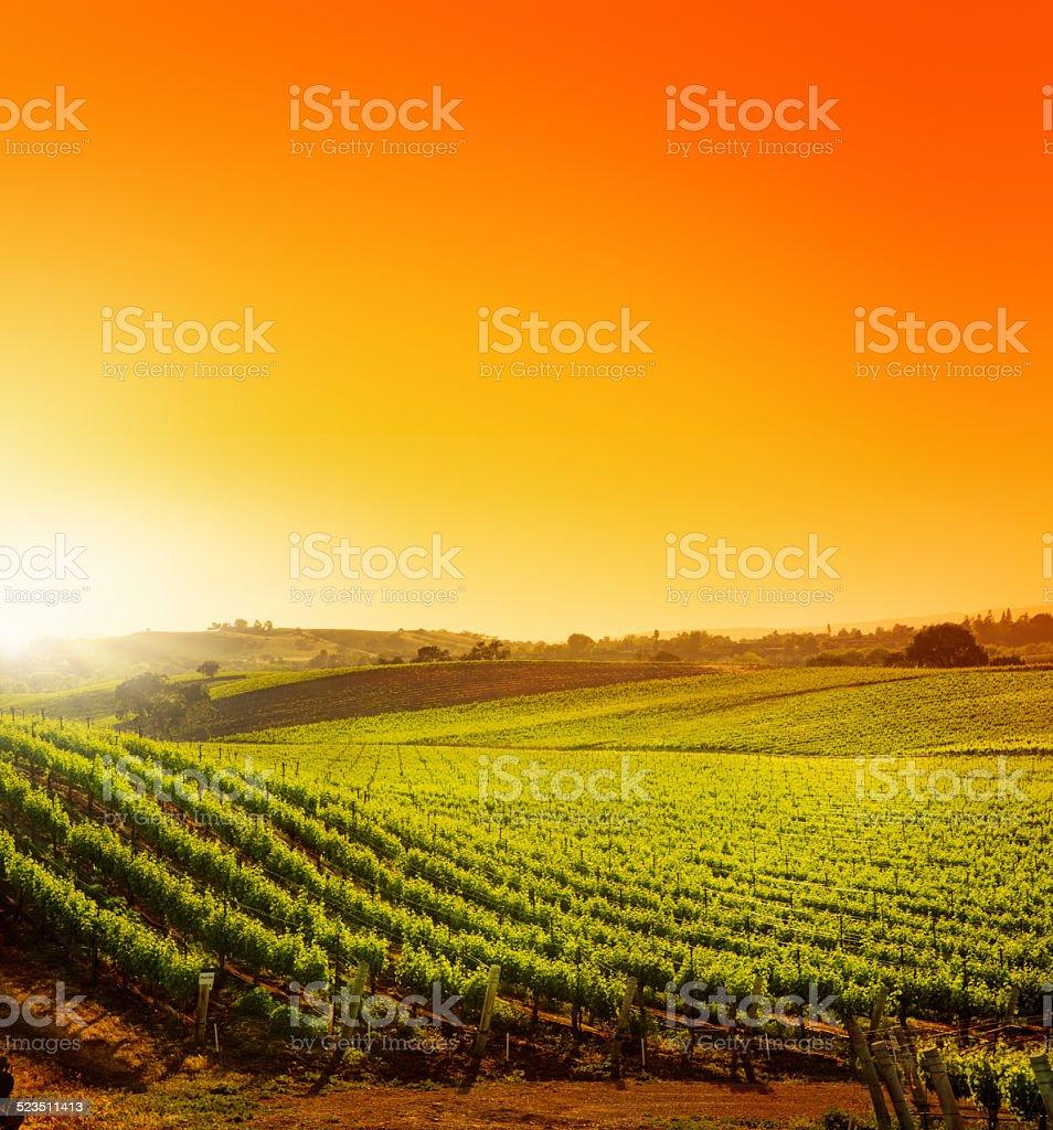 California Vineyard Sun stock photo