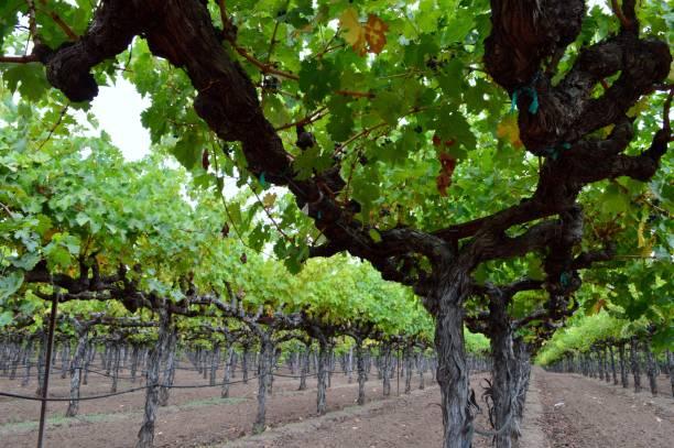 California vineyeard stock photo