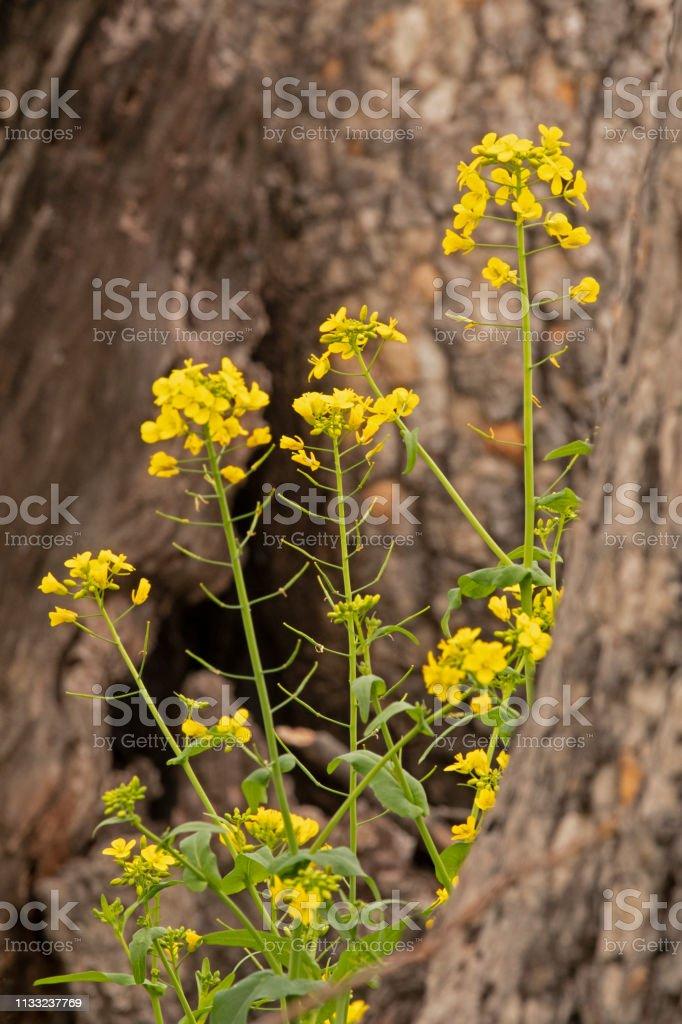 California Wild Mustard stock photo