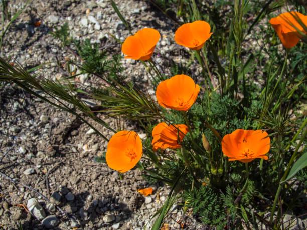 California wild orange poppy on the ground stock photo