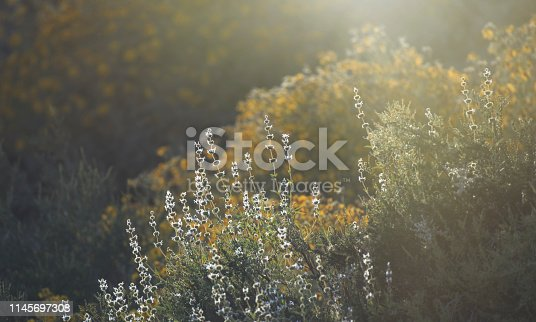 Wildflower flowers in a meadow backlit by sunlight during California superbloom