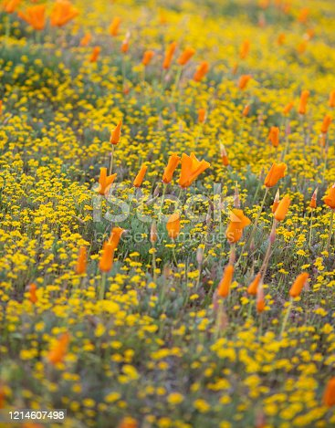 Orange poppys and yellow wildflowers in a field spring 2020 Southern California