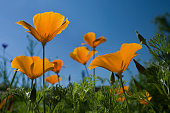 California yellow poppy flowers bloom in green grass on blue sky background