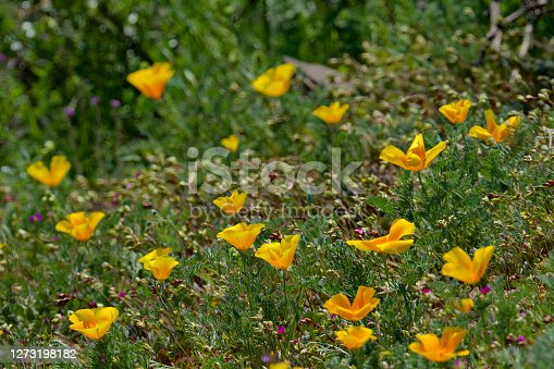 istock Californian Poppies flower after good rains in the Andes of Chile 1273198182