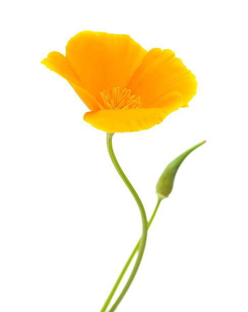Royalty free california poppy pictures images and stock photos istock californian poppy eschscholzia californica stock photo mightylinksfo