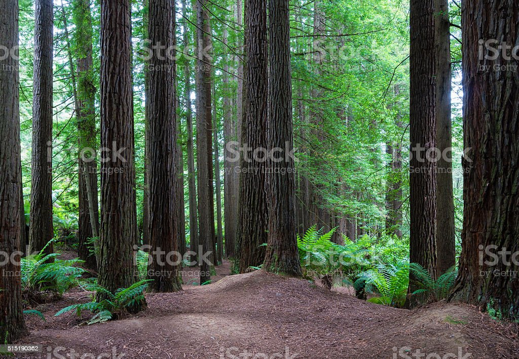 Californian redwood forest stock photo