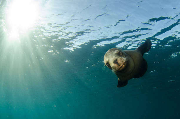 Californian sea lion (Zalophus californianus) Californian sea lion (Zalophus californianus) swimming and playing in the reefs of los islotes in Espiritu Santo island at La paz,. Baja California Sur,Mexico. seal pup stock pictures, royalty-free photos & images