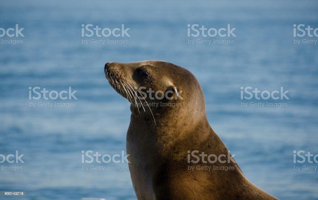 Californian sea lions at artificial landing near Shelter island, San Diego stock photo