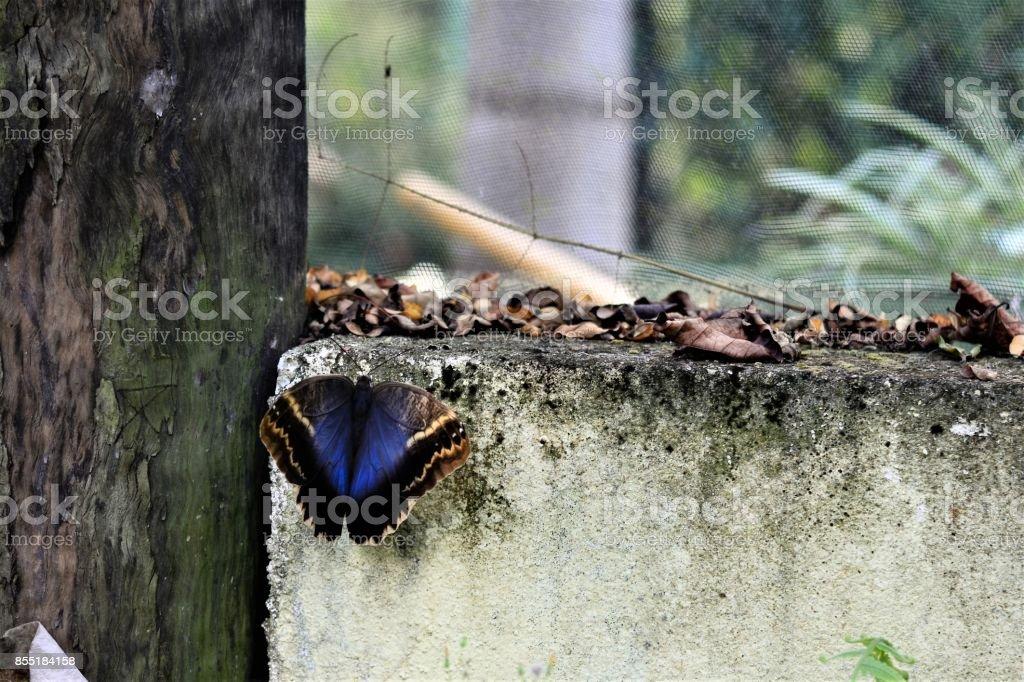 Caligo na parede de asas abertas stock photo