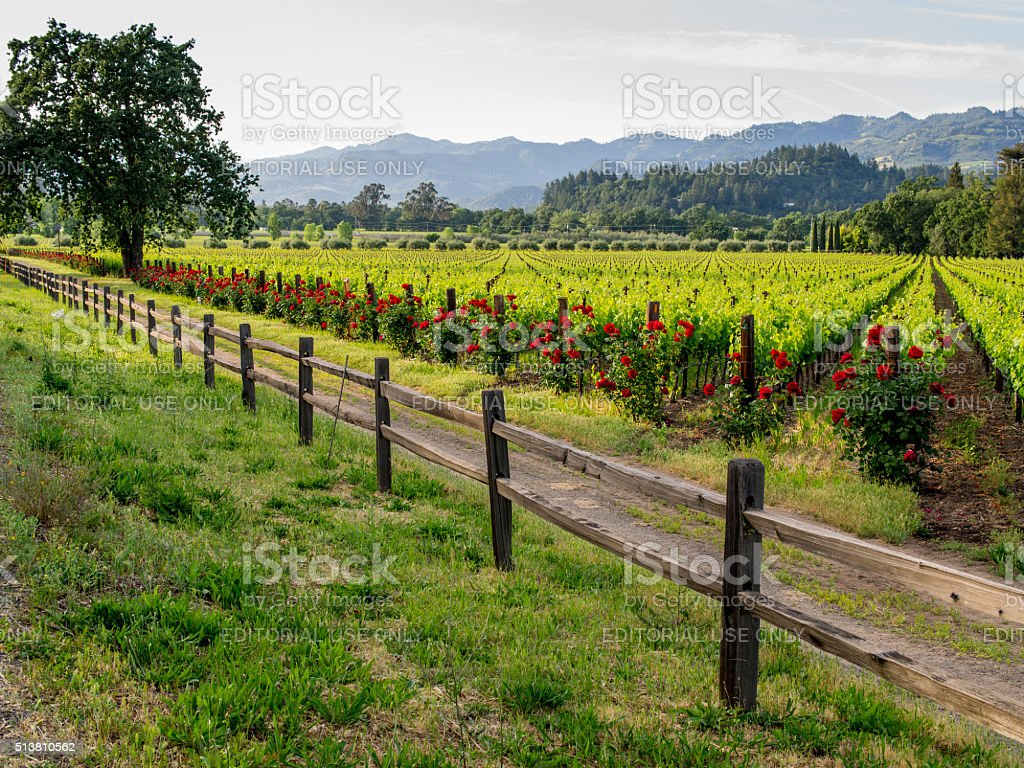 Calistoga vineyard scenic in Northern California stock photo