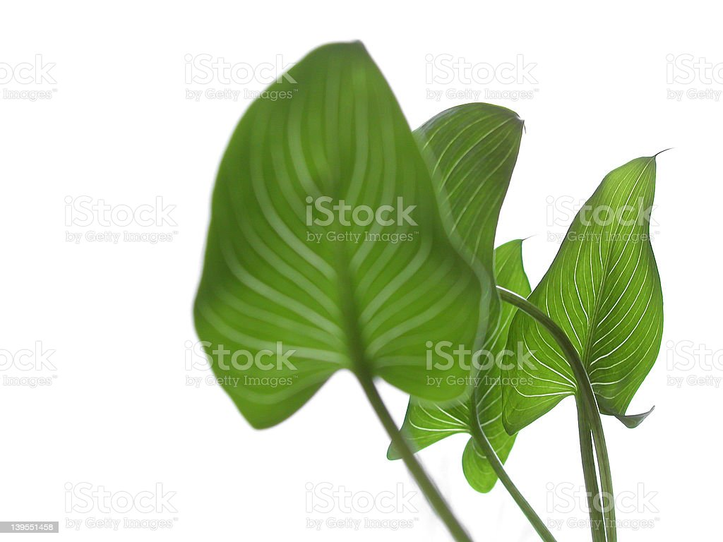 calla four stock photo