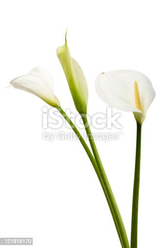 Isolated Calla Lilies