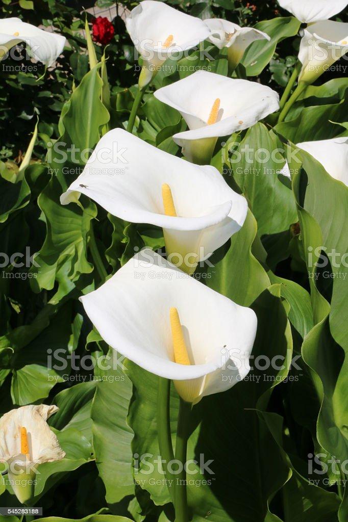 Calla lilies in the garden - Photo