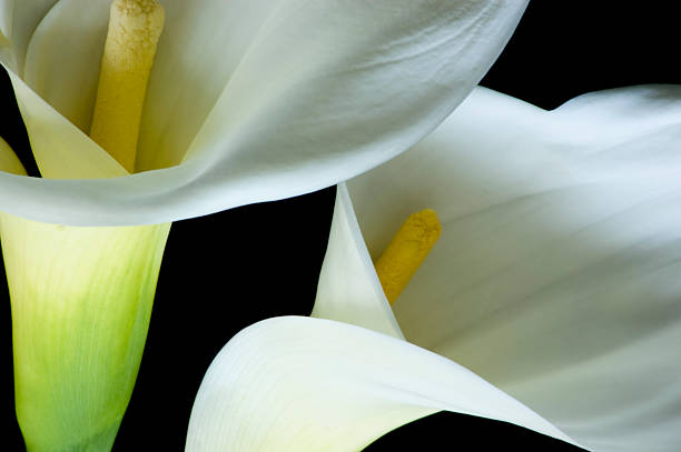 Calla Lilies Two Calla Lilies on black background. corn lilly stock pictures, royalty-free photos & images