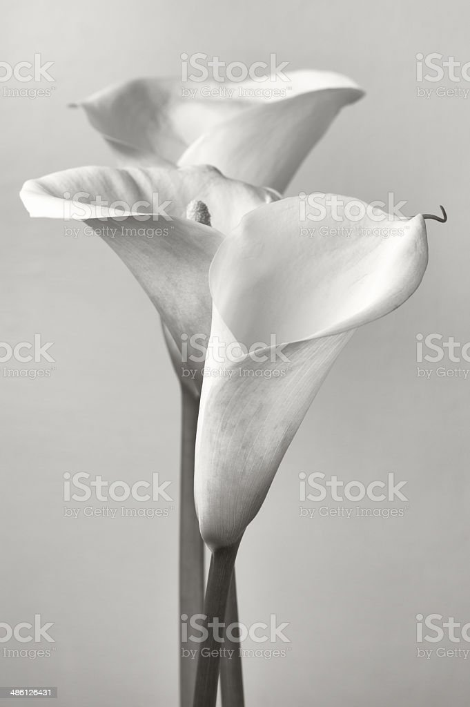 Calla lilies stock photo