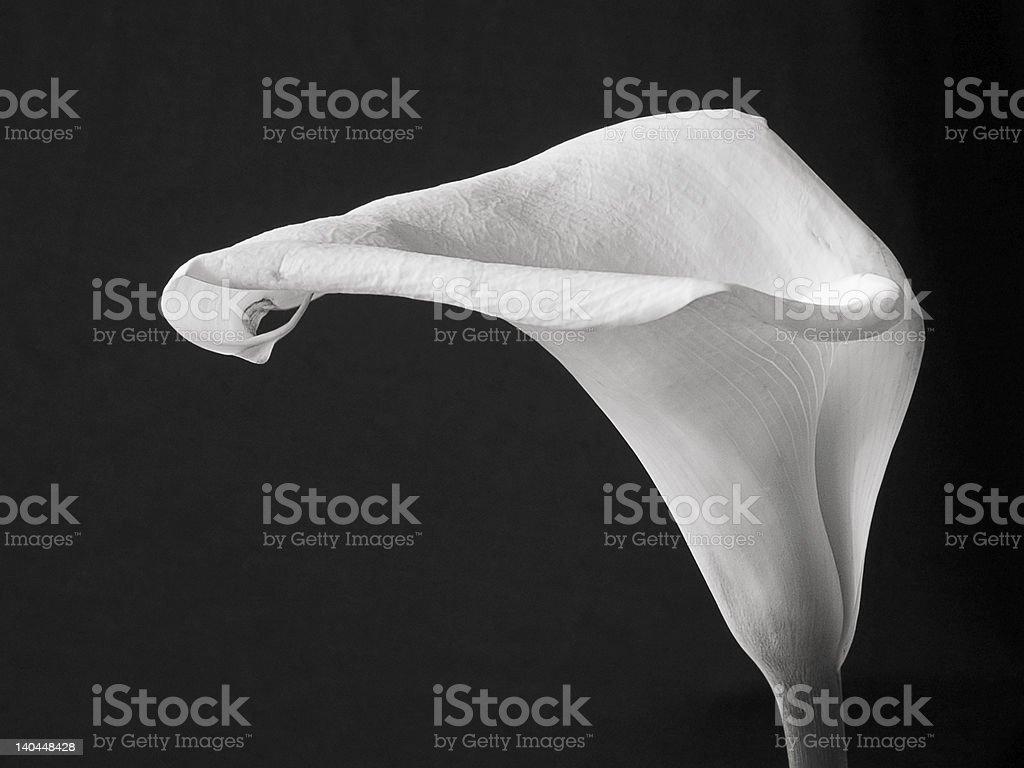 Calla lilly stock photo