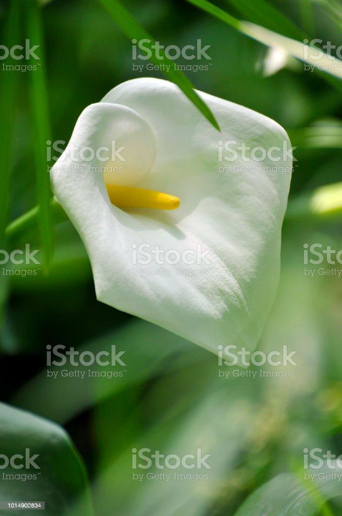 Fleur de lys blanc - Photo