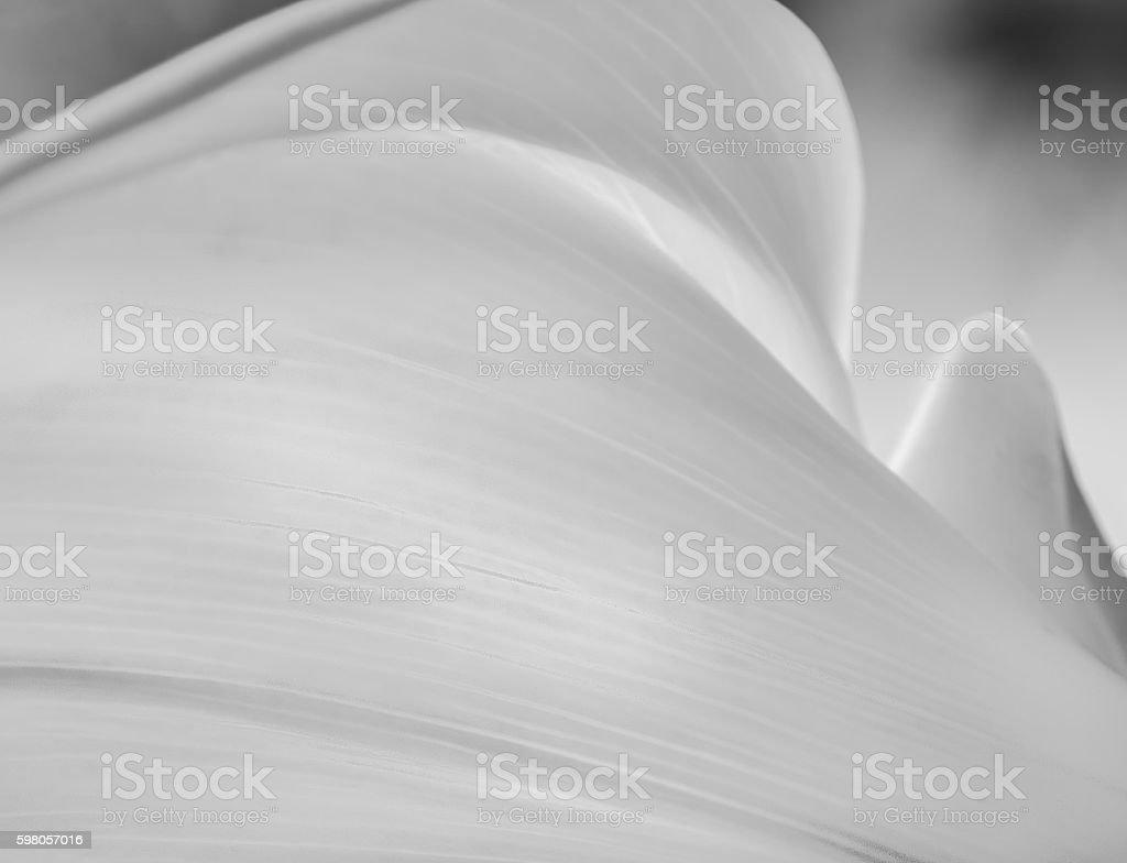 Calla Lily Flower stock photo