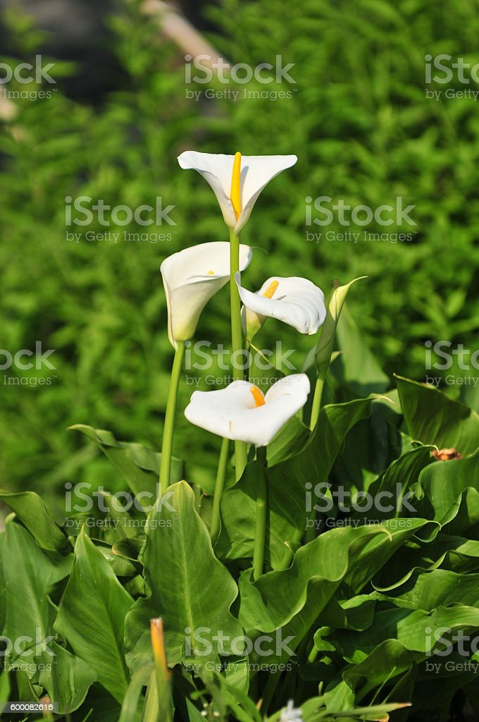 Calla Lily Flower stock photo