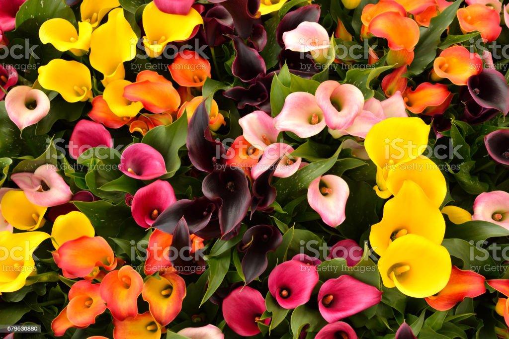 Calla lily (Zantedeschia) flowers in full bloom. - Photo