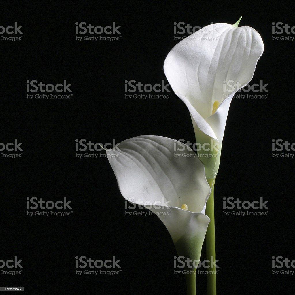 Calla lily on black stock photo